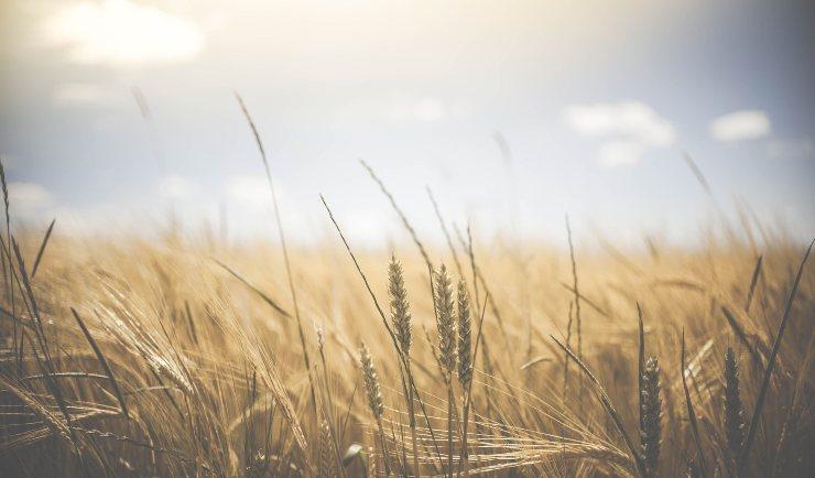 campo di grano agricoltura