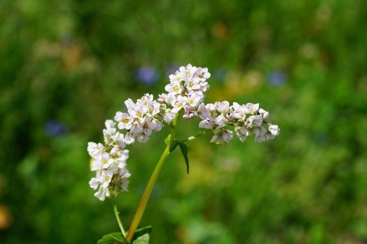 Fiore del grano saraceno