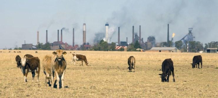 mucche e industria