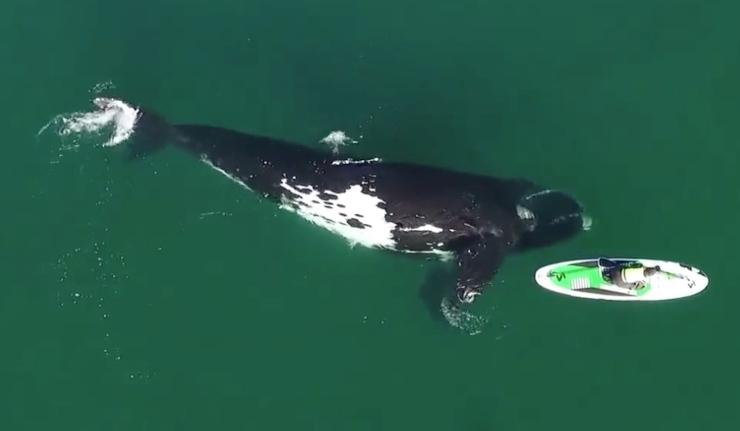 balena surfista