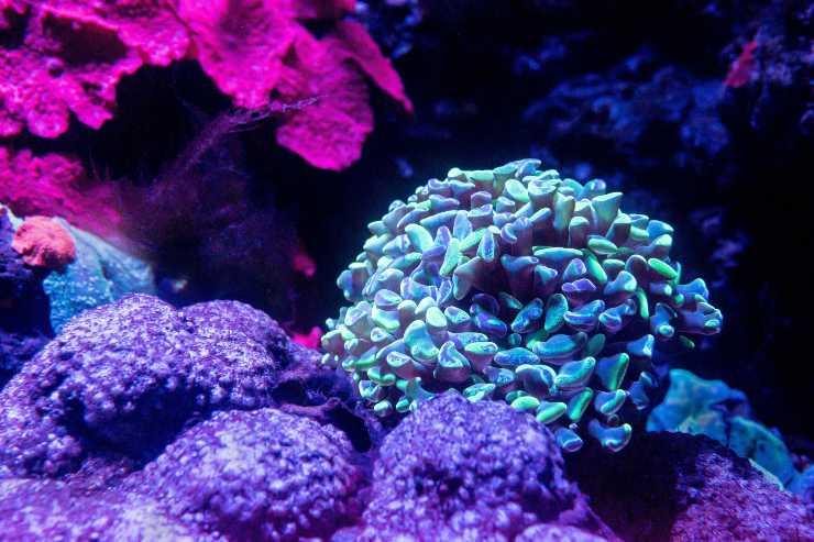 corallo bioluminescente