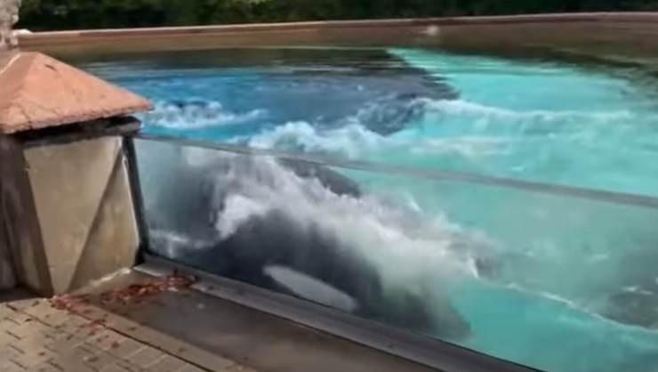 kiska orca prigioniera