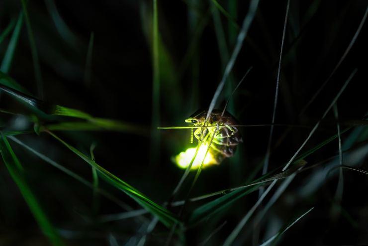 lucciola bioluminescenza