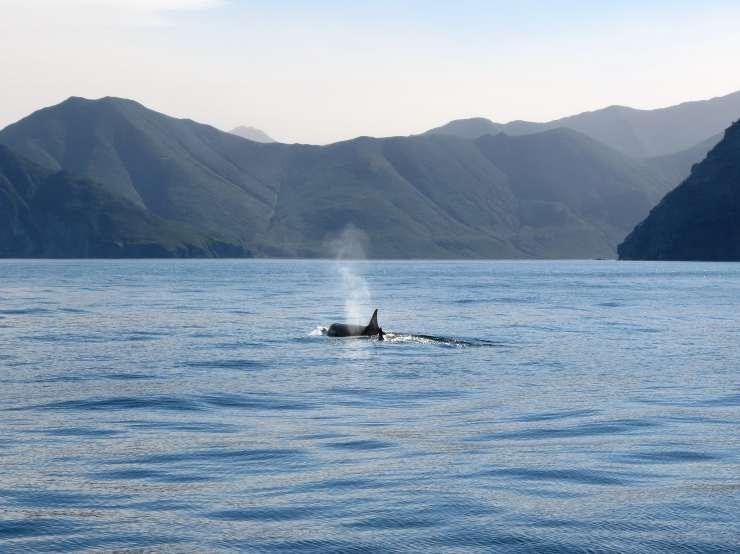 orca nel mare