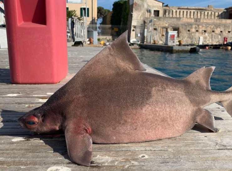 pesce porco isola d'elba