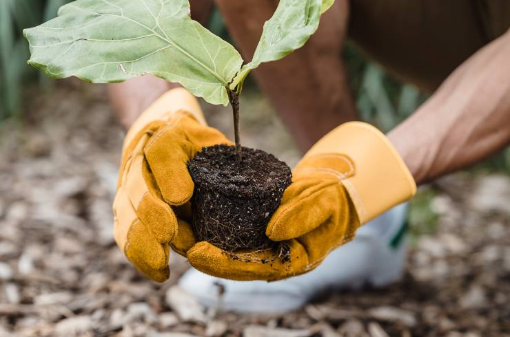 pianta volontario