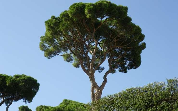 pino roma