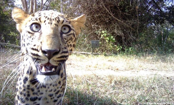 selfie leopardo ullas karanth WCS focus