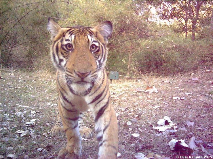 selfie tigre india
